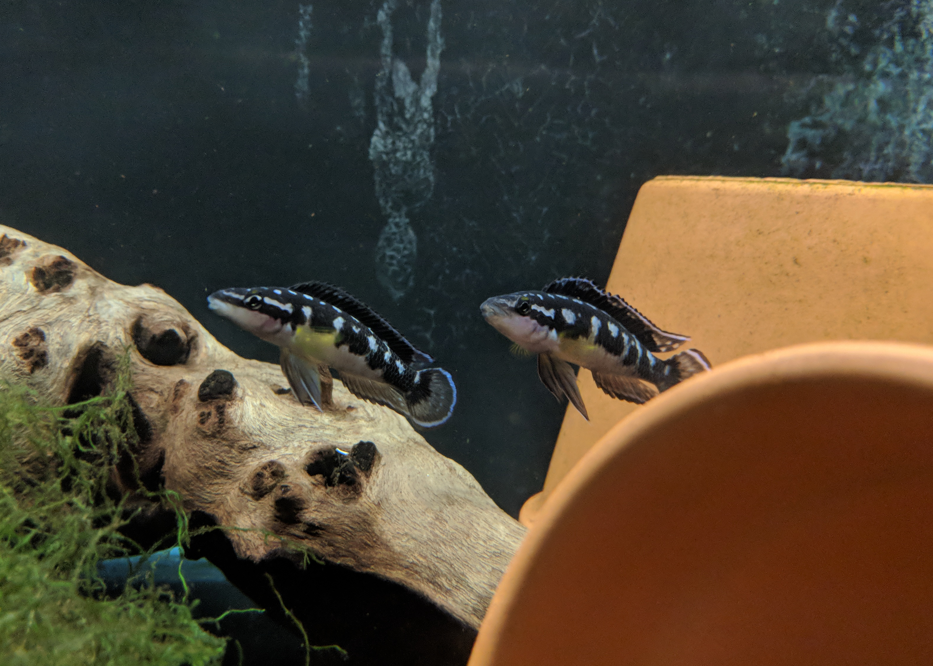 two black and white fish